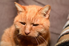 Πορτρέτο γατών πιπεροριζών Στοκ φωτογραφίες με δικαίωμα ελεύθερης χρήσης