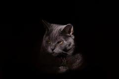 Πορτρέτο γατών στο σκοτεινό υπόβαθρο Στοκ Φωτογραφία