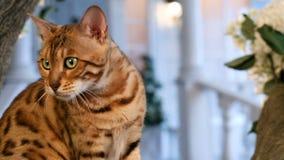 Πορτρέτο γατών της Βεγγάλης - γενεαλογική γάτα απόθεμα βίντεο