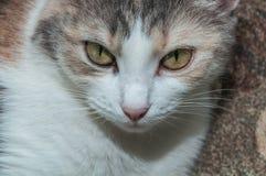 Πορτρέτο γατών Tricolor Στοκ εικόνα με δικαίωμα ελεύθερης χρήσης