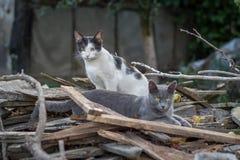 Πορτρέτο δύο ενήλικες γάτες στοκ φωτογραφίες
