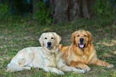 Πορτρέτο δύο νέων σκυλιών ομορφιάς στοκ εικόνα με δικαίωμα ελεύθερης χρήσης