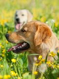 πορτρέτο δύο σκυλιών ομο&rh Στοκ Εικόνες