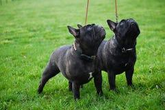 πορτρέτο δύο σκυλιών Στοκ εικόνα με δικαίωμα ελεύθερης χρήσης