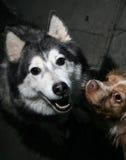 πορτρέτο δύο σκυλιών στοκ εικόνες