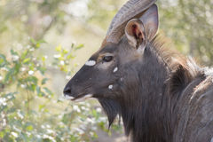 Πορτρέτο ενός άγρια αρσενικά Nyala & x28 Tragelaphus angasii& x29  Αντιλόπη Στοκ εικόνες με δικαίωμα ελεύθερης χρήσης