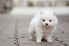 Πορτρέτο ενός άσπρου κουταβιού Pomeranian Στοκ Εικόνες