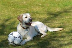Πορτρέτο ενός άσπρου Λαμπραντόρ με τη σφαίρα ποδοσφαίρου στη χλόη στοκ φωτογραφία