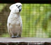 Άσπρος παπαγάλος Στοκ Φωτογραφία