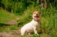 Πορτρέτο ενός άσπρου σκυλιού μια ηλιόλουστη θερινή ημέρα Στοκ φωτογραφία με δικαίωμα ελεύθερης χρήσης