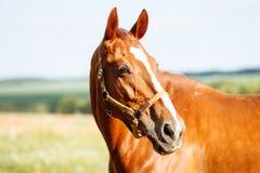 Πορτρέτο ενός αλόγου στο λιβάδι Στοκ Φωτογραφίες