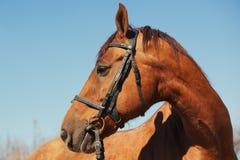 Πορτρέτο ενός αλόγου στο λουρί υπαίθρια στοκ φωτογραφίες με δικαίωμα ελεύθερης χρήσης
