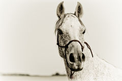 Πορτρέτο ενός αραβικού αλόγου Στοκ Φωτογραφία