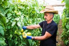 Πορτρέτο ενός ατόμου στην εργασία στην εμπορική ντομάτα παραγωγής προϊόντων προϊόντων θερμοκηπίων θερμοκηπίων Στοκ Εικόνες