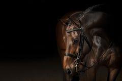 Πορτρέτο ενός αλόγου αθλητικής εκπαίδευσης αλόγου σε περιστροφές Στοκ εικόνα με δικαίωμα ελεύθερης χρήσης
