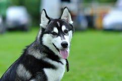 Πορτρέτο ενός γεροδεμένου σκυλιού στοκ φωτογραφίες με δικαίωμα ελεύθερης χρήσης