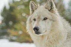 Πορτρέτο ενός γκρίζου λύκου Στοκ Φωτογραφίες