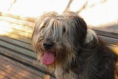 Πορτρέτο ενός γραπτού χνουδωτού σκυλιού στοκ φωτογραφία