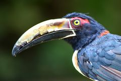 Πορτρέτο ενός εξωτικού aracari στοκ φωτογραφία
