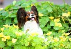 Πορτρέτο ενός ευτυχούς Papillon στα κίτρινα λουλούδια Στοκ Φωτογραφίες