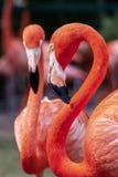 Πορτρέτο ενός ζευγαριού των πουλιών φλαμίγκο στο φυσικό περιβάλλον τους στοκ φωτογραφία με δικαίωμα ελεύθερης χρήσης