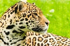 Πορτρέτο ενός ιαγουάρου Onca Panthera στοκ εικόνα με δικαίωμα ελεύθερης χρήσης