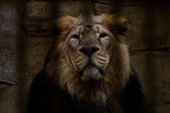 Πορτρέτο ενός λιονταριού που κλείνουν σε ένα κλουβί Στοκ Φωτογραφίες