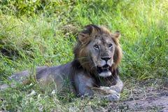 Πορτρέτο ενός λιονταριού Στοκ εικόνα με δικαίωμα ελεύθερης χρήσης
