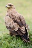 Πορτρέτο ενός καστανόξανθου αετού Στοκ Εικόνες