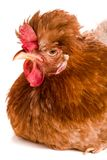 Πορτρέτο ενός καφετιού κοτόπουλου που απομονώνεται στο άσπρο υπόβαθρο Στοκ φωτογραφίες με δικαίωμα ελεύθερης χρήσης