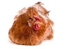 Πορτρέτο ενός καφετιού κοτόπουλου που απομονώνεται στο άσπρο υπόβαθρο Στοκ Εικόνες