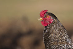 Πορτρέτο ενός κοτόπουλου Στοκ εικόνα με δικαίωμα ελεύθερης χρήσης