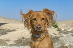Πορτρέτο ενός κόκκινου σκυλιού σε ένα υπόβαθρο ερήμων στοκ φωτογραφίες με δικαίωμα ελεύθερης χρήσης