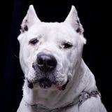 Πορτρέτο ενός λατρευτού Dogo Argentino Στοκ φωτογραφίες με δικαίωμα ελεύθερης χρήσης