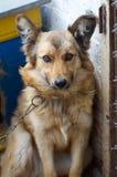 Πορτρέτο ενός μεγάλου σκυλιού που κοιτάζει στη κάμερα με το ευτυχές πρόσωπο Στοκ Εικόνες