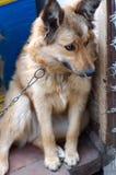 Πορτρέτο ενός μεγάλου σκυλιού που κοιτάζει στη κάμερα με το ευτυχές πρόσωπο Στοκ φωτογραφία με δικαίωμα ελεύθερης χρήσης