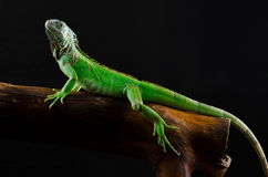 Πορτρέτο ενός μεγάλου iguana στο στούντιο Στοκ φωτογραφία με δικαίωμα ελεύθερης χρήσης