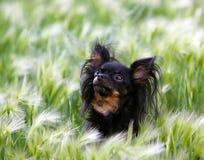 Πορτρέτο ενός μικρού χαριτωμένου μαύρου σκυλιού σε μια χλόη φτερών Στοκ Φωτογραφία