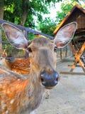 Πορτρέτο ενός νέου ελαφιού Τα μάτια των νέων ελαφιών Τα αυτιά των νέων ελαφιών στοκ φωτογραφίες με δικαίωμα ελεύθερης χρήσης