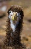 Πορτρέτο ενός νεοσσού άλμπατρος galapagos νησιά ηξών Ισημερινός στοκ εικόνες με δικαίωμα ελεύθερης χρήσης