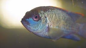 Πορτρέτο ενός νότου - τα αμερικανικά ψάρια ενυδρείων της οικογένειας cichlid κάλεσαν Laetacara curviceps απόθεμα βίντεο
