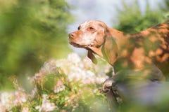 Πορτρέτο ενός ουγγρικού σκυλιού που βρίσκεται σε έναν πάγκο, που πλαισιώνεται με τα πέταλα Στοκ φωτογραφίες με δικαίωμα ελεύθερης χρήσης