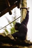 Πορτρέτο ενός ουρλιάζοντας siamang gibbon πιθήκου Symphalangus syndac Στοκ φωτογραφίες με δικαίωμα ελεύθερης χρήσης