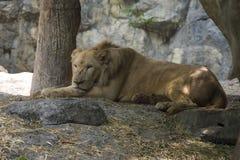 Πορτρέτο ενός παλαιού λιονταριού Στοκ φωτογραφία με δικαίωμα ελεύθερης χρήσης