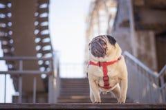 Πορτρέτο ενός πανέμορφου σκυλιού μαλαγμένου πηλού σε ένα κόκκινο περιλαίμιο στοκ εικόνα