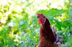 Πορτρέτο ενός περίεργου κοτόπουλου σε μια χλόη Στοκ φωτογραφία με δικαίωμα ελεύθερης χρήσης