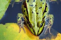 Πορτρέτο ενός πράσινου άγριου βατράχου στοκ εικόνα