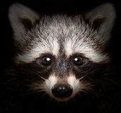 Πορτρέτο ενός ρακούν πονηριών στοκ φωτογραφίες με δικαίωμα ελεύθερης χρήσης