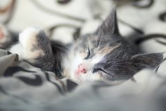 Πορτρέτο ενός ρύγχους ενός μικρού γκρίζου ύπνου γατακιών στο κρεβάτι στοκ φωτογραφίες