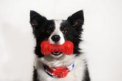 πορτρέτο ενός σκυλιού κόλλεϊ συνόρων στοκ εικόνα με δικαίωμα ελεύθερης χρήσης